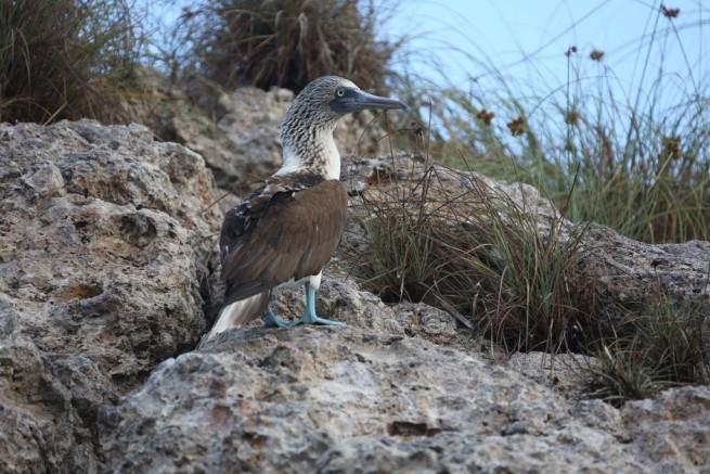 Mexico Blue Booby Bird